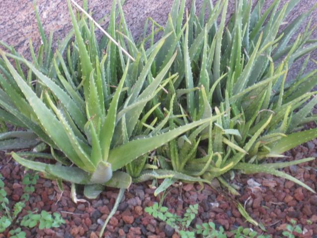 Recetas y usos del Aloe Vera